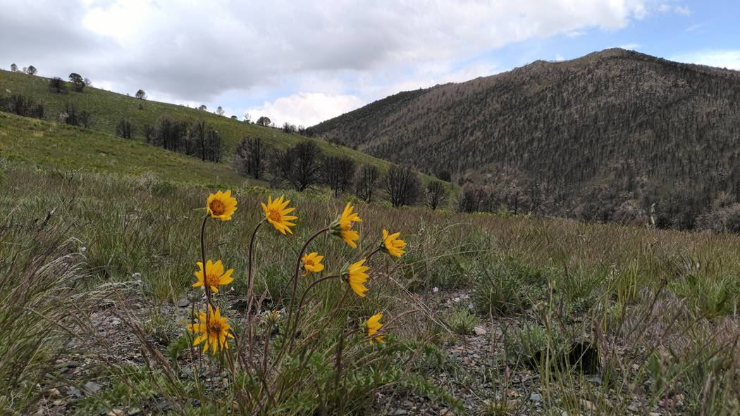 Balsamroot flowers color a hillside above Strawberry Creek in Great Basin National Park in 2018 ...
