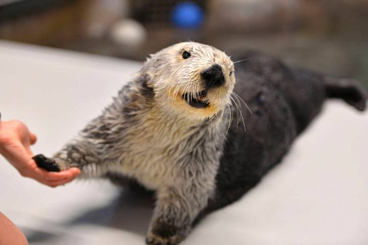 This March 2, 2018, photo shows Charlie the sea otter celebrating his 21st birthday at the Aqua ...