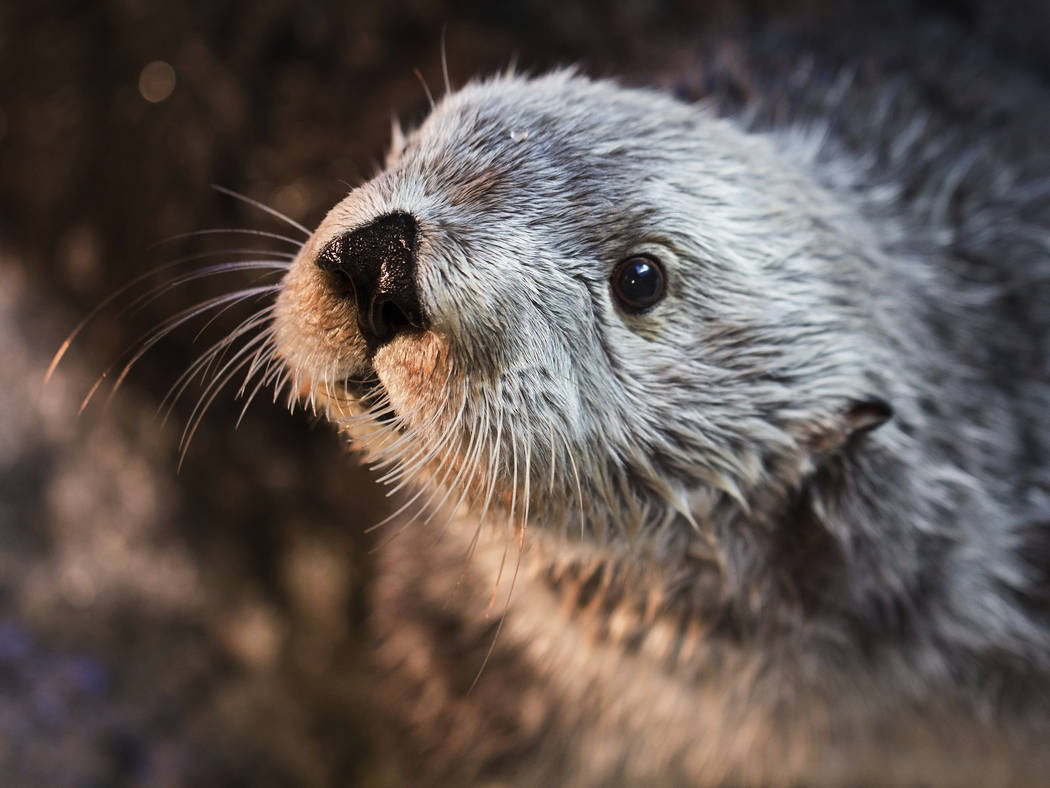This undated photo provided by Aquarium of the Pacific shows Charlie, a male sea otter. (Robin ...