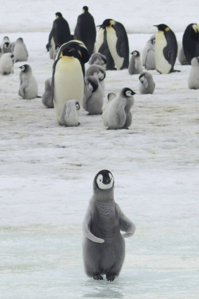 This 2010 photo provided by the British Antarctic Survey shows emperor penguins and chicks at A ...
