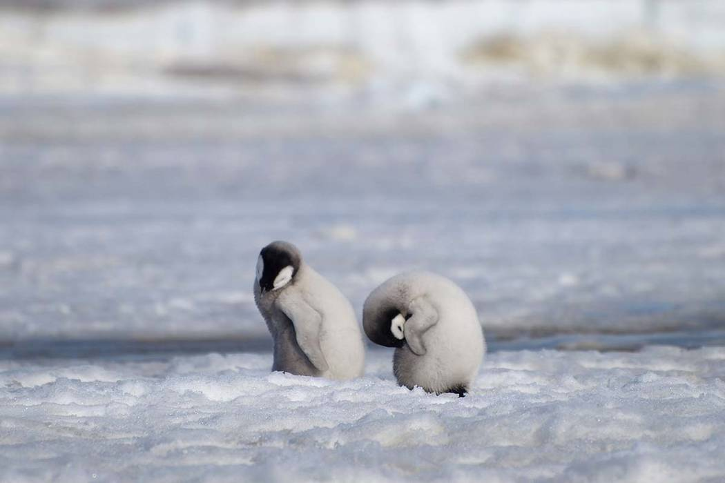This 2010 photo provided by the British Antarctic Survey shows emperor penguin chicks at Antarc ...