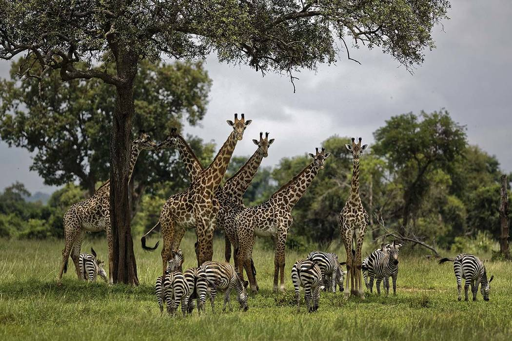 FILE - In this Tuesday, March 20, 2018 file photo, giraffes and zebras congregate under the sha ...