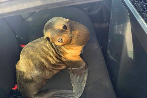 In this photo provided by the California Highway Patrol is a baby seal lion sitting in the back ...