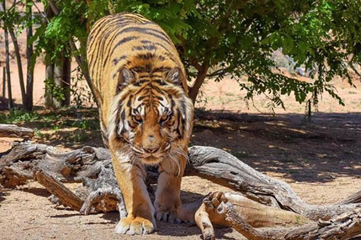 Bengal tiger attacks ex-Las Vegas illusionist, sanctuary founder
