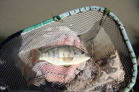The biologist nets a non-native blue tilapia during a March 22 eradication effort aimed at prot ...