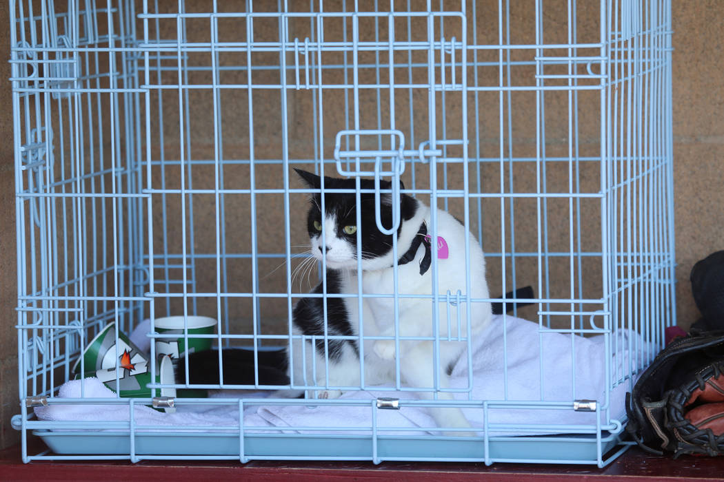 Cali the cat, Desert Oasis' good luck charm, watches from the dugout during a baseball game aga ...