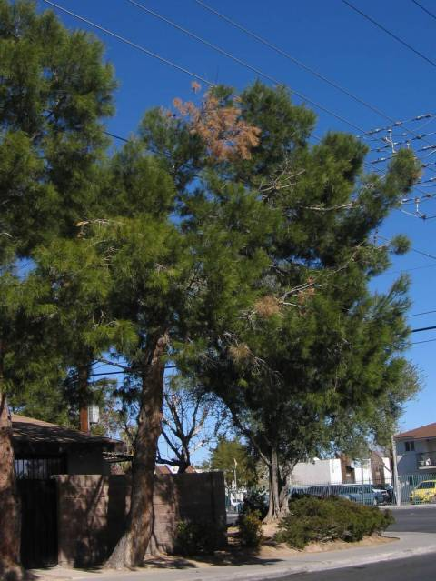 Aleppo pine gets a blight that causes browning of needles and entire branches. (Bob Morris)