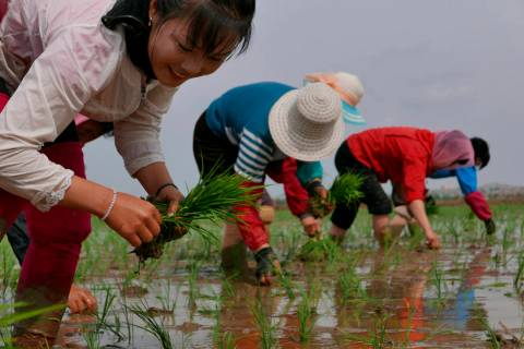 North Korean farmers plant rice seedlings May 17, 2019, in a field at the Sambong Cooperative F ...