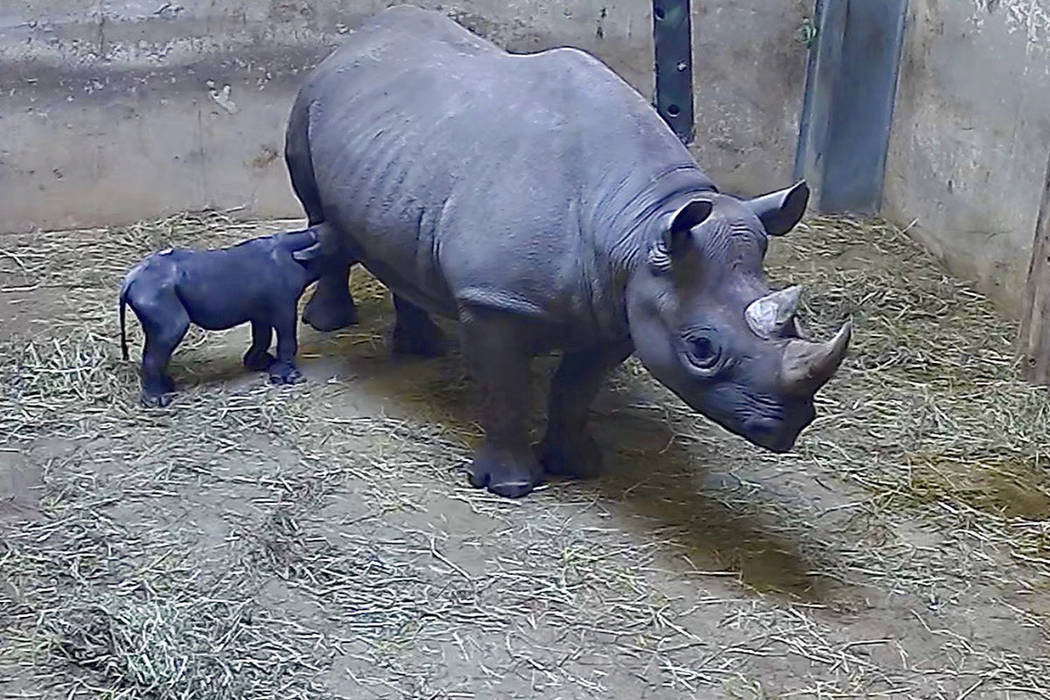 This May 19, 2019 image from video provided by the Lincoln Park Zoo shows Kapuki, an eastern bl ...