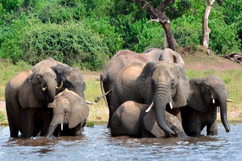 In this March 3, 2013 file photo elephants drink water in the Chobe National Park in Botswana. ...