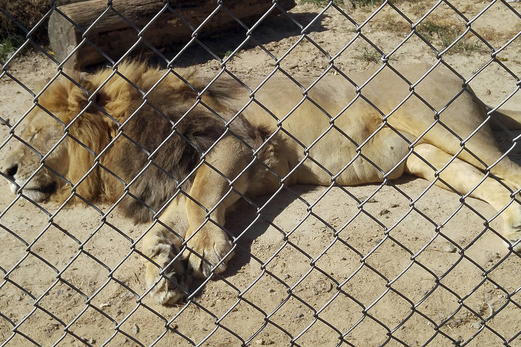 In this Sept. 30, 2017 photo made available by Erik Sommer, the lion Matthai relaxes inside his ...