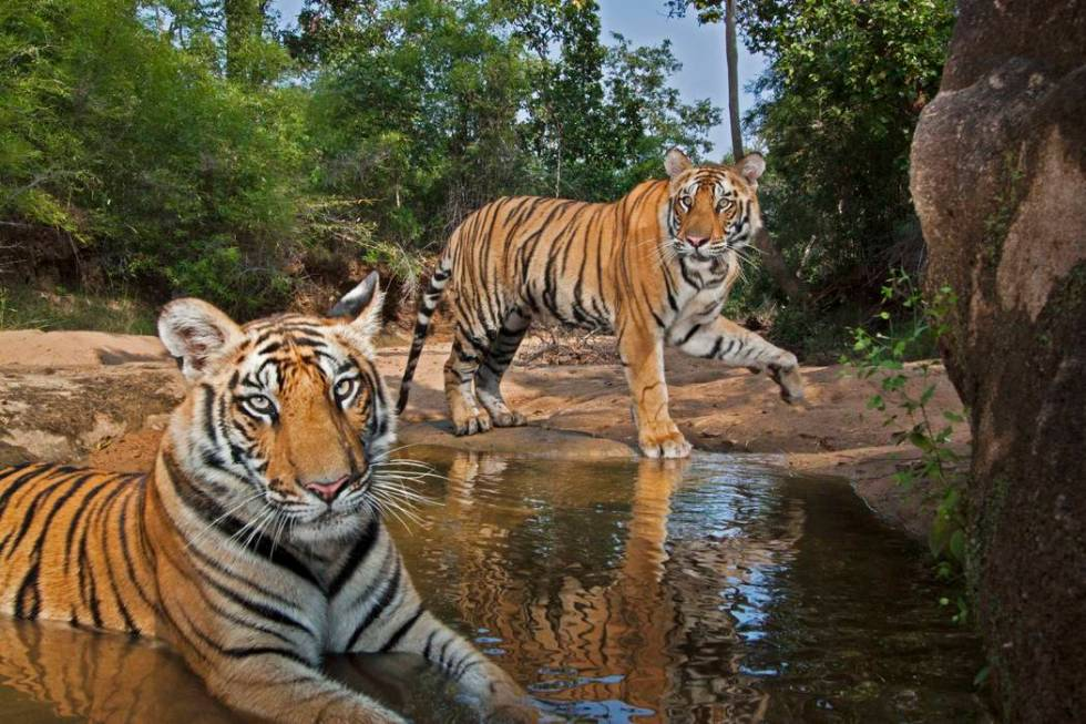 Tiger cubs playing at a waterhole in Bandhavgarh National Park. (Steve Winter)