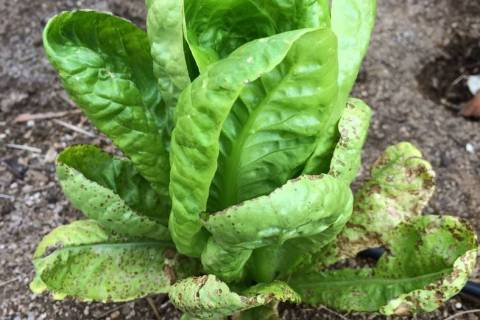 Leaf spot diseases, shown here on lettuce, can infect the plant from contaminated seed. (Bob Mo ...