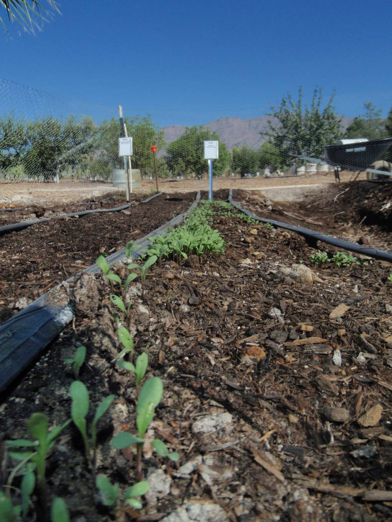 The cooler and wetter spring weather has slowed down the growth of warm-season vegetables. (Bob ...
