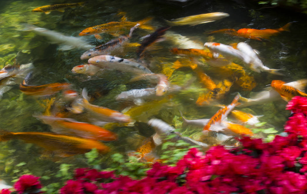 Koi fish swim in a pond at the conservatory and botanical gardens at Bellagio in Las Vegas on W ...