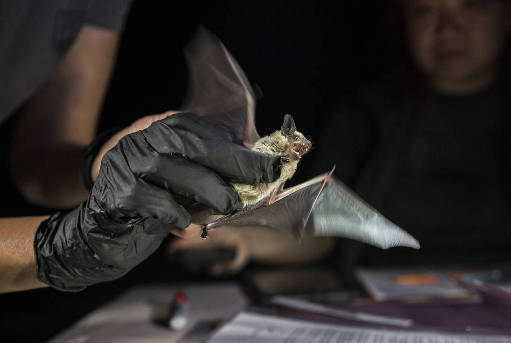 Christy Klinger, a wildlife biologist with the Nevada Department of Wildlife, examines a bat du ...