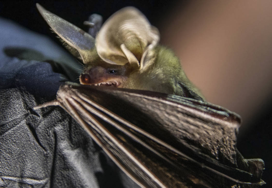 "A bat is documented during a ""bat blitz"" event in the East Mormon mountain range on T ..."