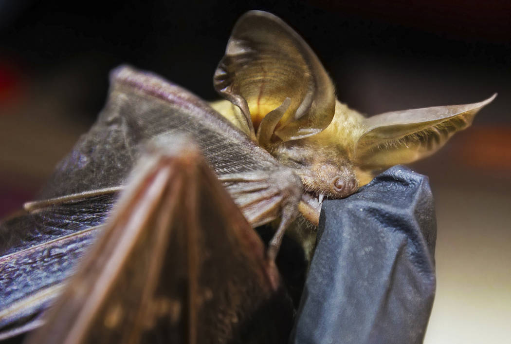 A bat chomps on the finger of Christy Klinger, a wildlife biologist with the Nevada Department ...
