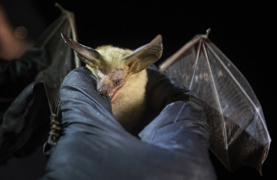 A bat nibbles on the thumb of Christy Klinger, a wildlife biologist with the Nevada Department ...