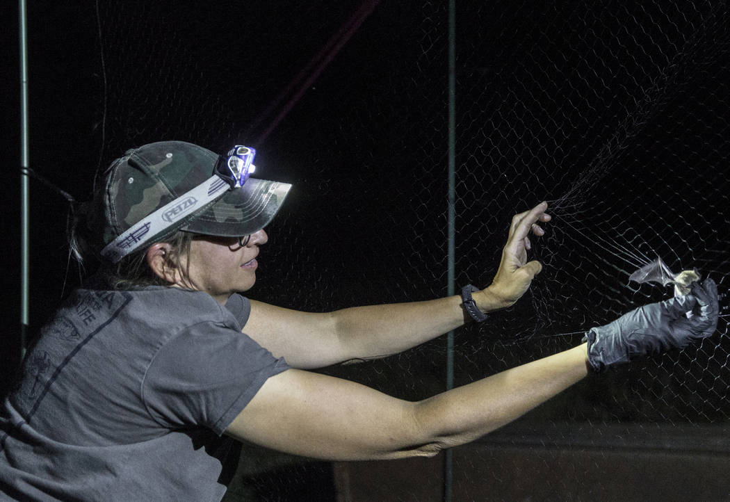 Christy Klinger, a wildlife biologist with the Nevada Department of Wildlife, collects a bat fr ...
