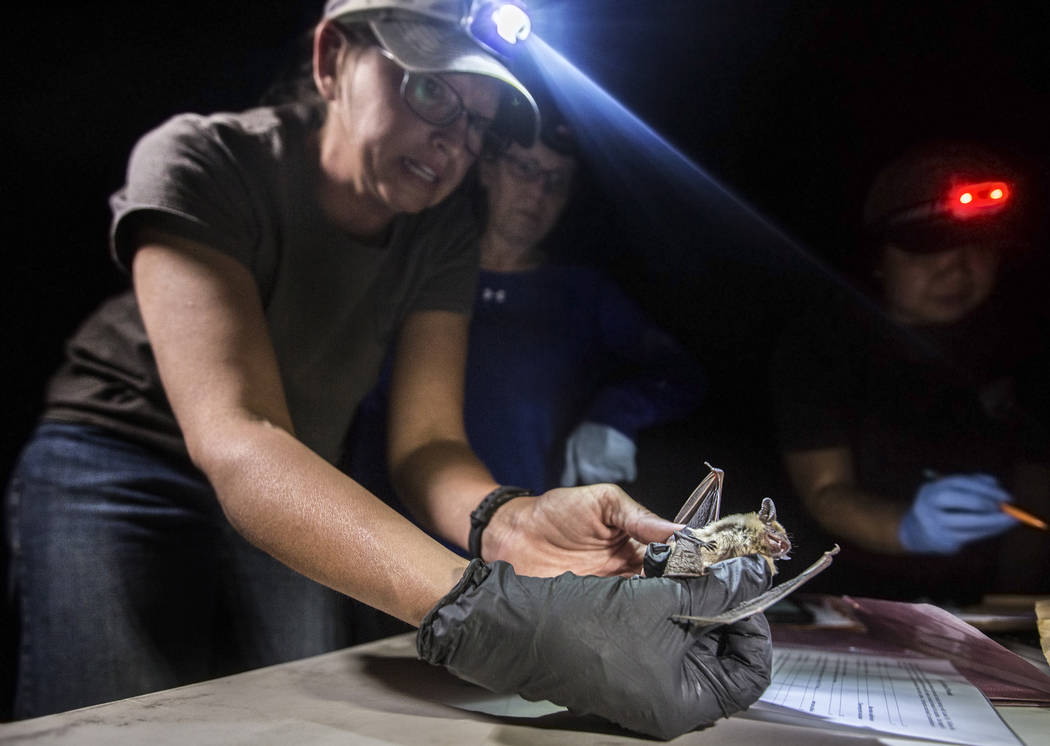 Christy Klinger, a wildlife biologist with the Nevada Department of Wildlife, documents a femal ...