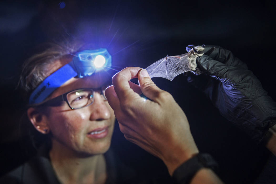 Tracy Kipke, a biologist at the Nevada Department of Wildlife, examines a canyon bat during a & ...