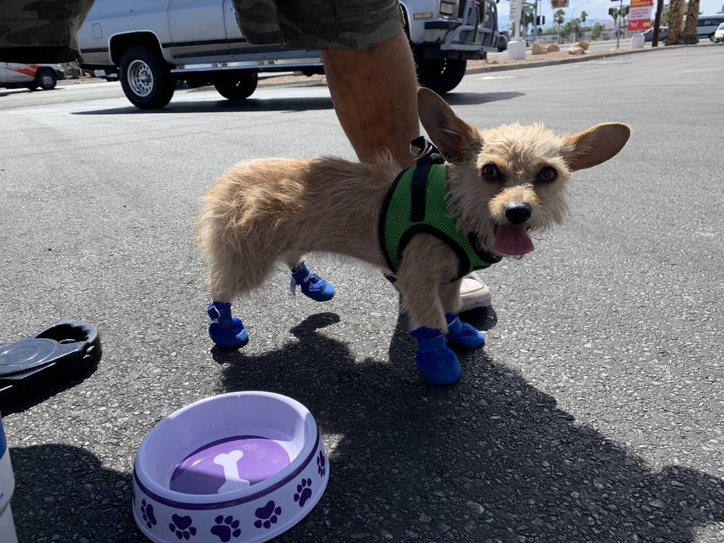 A dog named Karma tries out a pair of booties on pavement in Las Vegas, Monday, June 17, 2019. ...