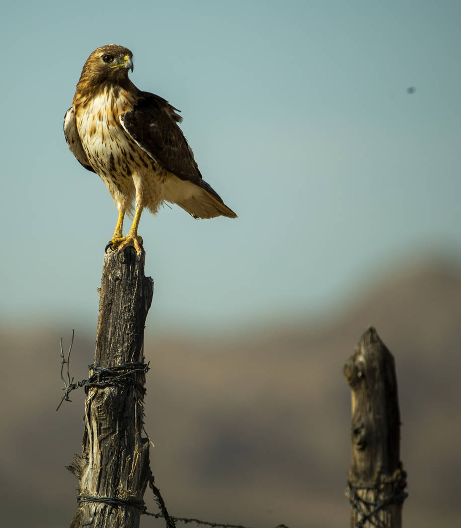 A hawk perches on a fence post near the Jean dry lake bed on Monday, June 10, 2019, in Las Vega ...