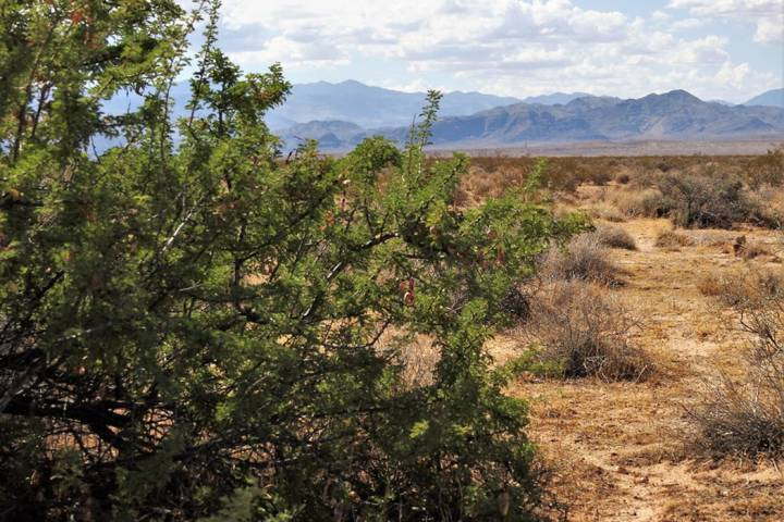 A catclaw acacia grows in the desert about 30 miles northeast of Las Vegas at the proposed site ...