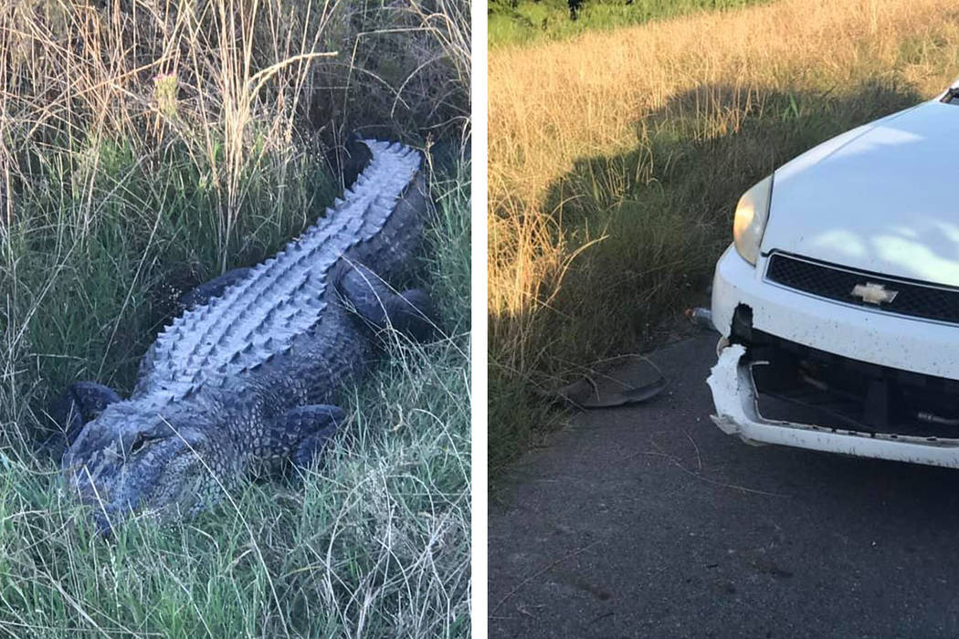 Sheriff's deputies in Louisiana say an alligator took a bite out of one of their patrol cars ...
