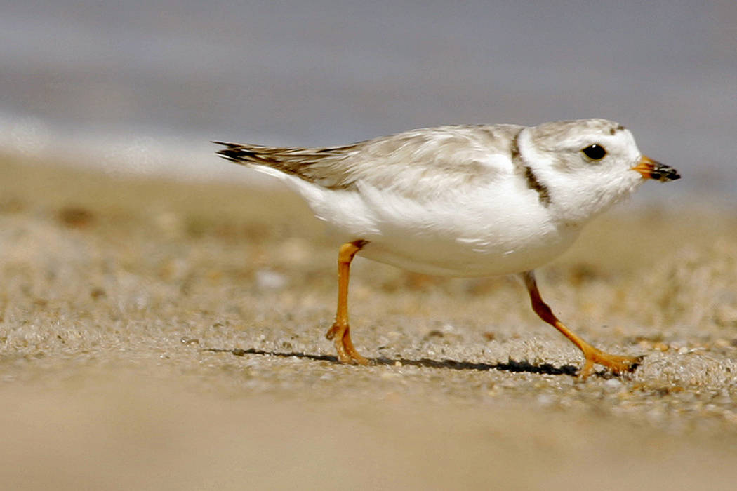 FILE - In this July 12, 2007 file photo, an adult Piping Plover runs along a beach as waves lap ...