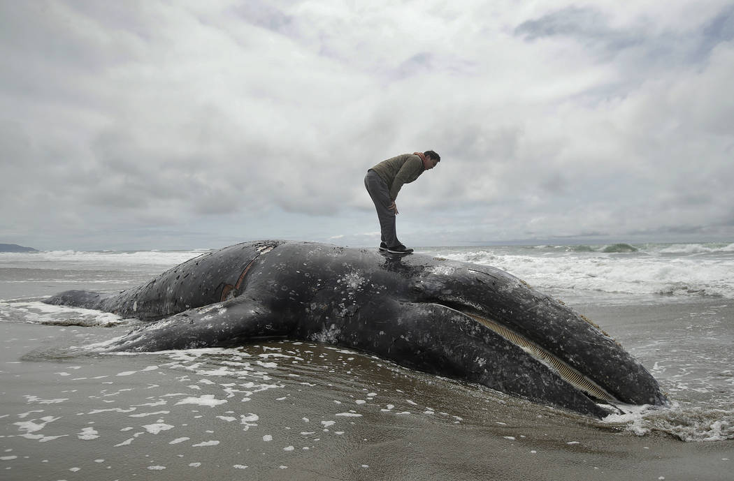 FILE - In this May 6, 2019 file photo, Duat Mai stands atop a dead whale at Ocean Beach in San ...