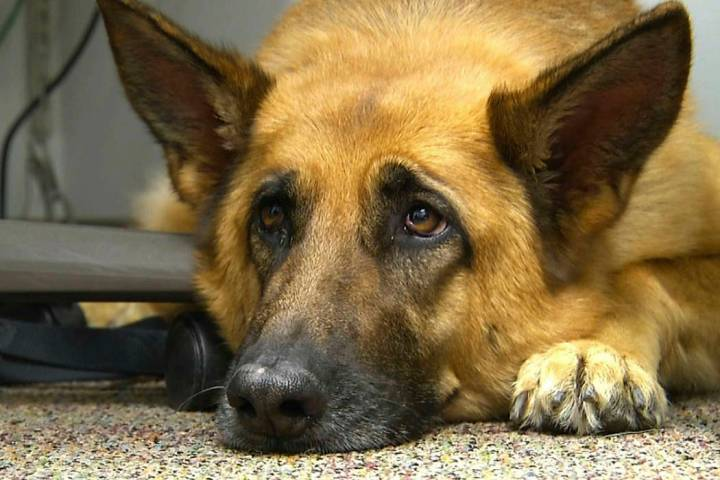 FILE - This Feb. 18, 2014 shows Lexy, a therapy dog at Fort Bragg, N.C. A study released on Mon ...