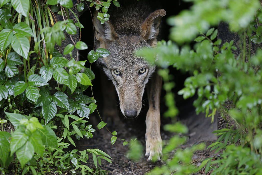 FILE - In this Monday, May 13, 2019 file photo, a female red wolf emerges from her den shelteri ...