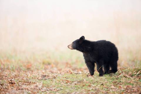 Black bear cub (Getty Images)