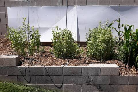 Poor drainage and cold soil is the kiss of death to peas, which should be planted in November t ...