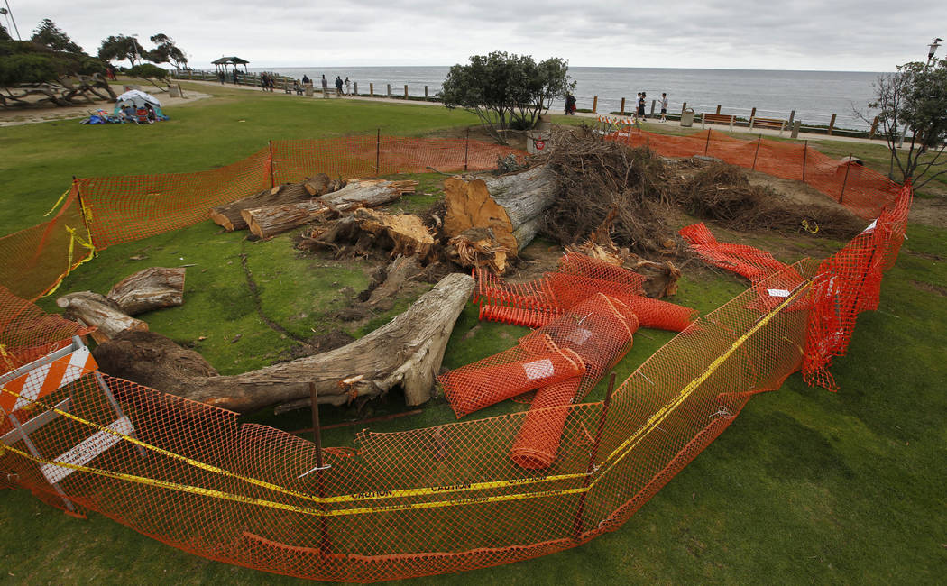 This June 17, 2019 photo shows a Monterey cypress tree that was toppled in Ellen Browning Scrip ...