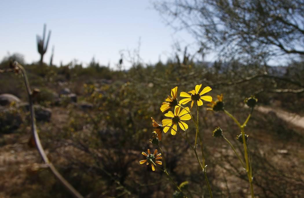 Desert flowers bloom along the Maricopa Trail inside the White Tank Mountain Regional Park Wedn ...