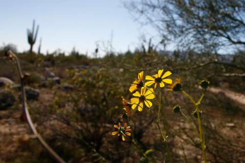 Desert flowers bloom along the Maricopa Trail inside the White Tank Mountain Regional Park Wedn ...