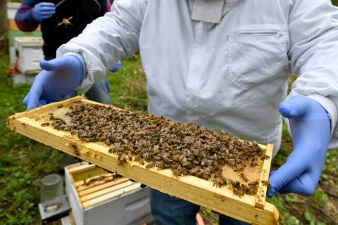 In this Oct. 12, 2018 file photo, a man holds a frame removed from a hive box covered with hone ...