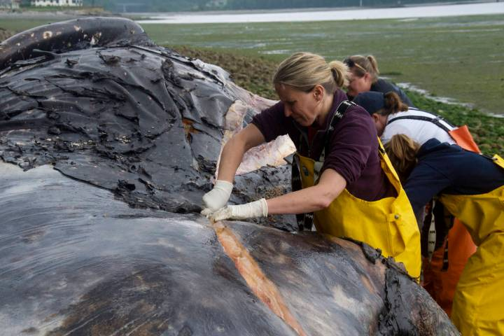 Veterinarian Stefanie Worwag participates in a necropsy on decomposing whale if front of her ho ...