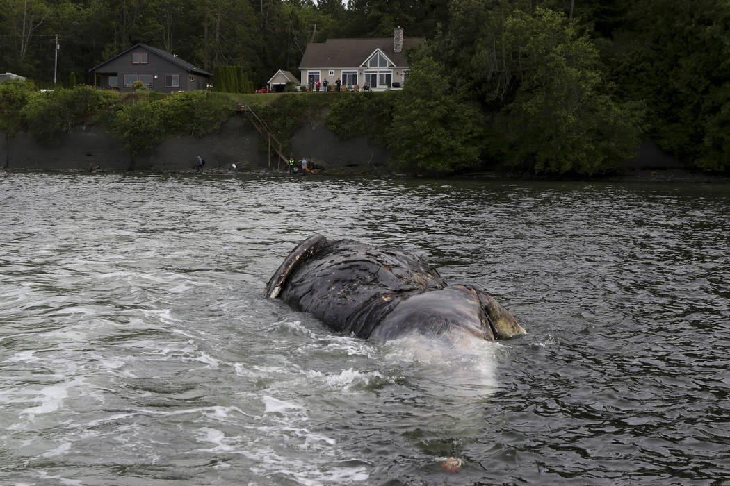 Officials tow a decomposing whale, Tuesday, May 28, 2019, in Port Ludlow, Wash. to a private be ...
