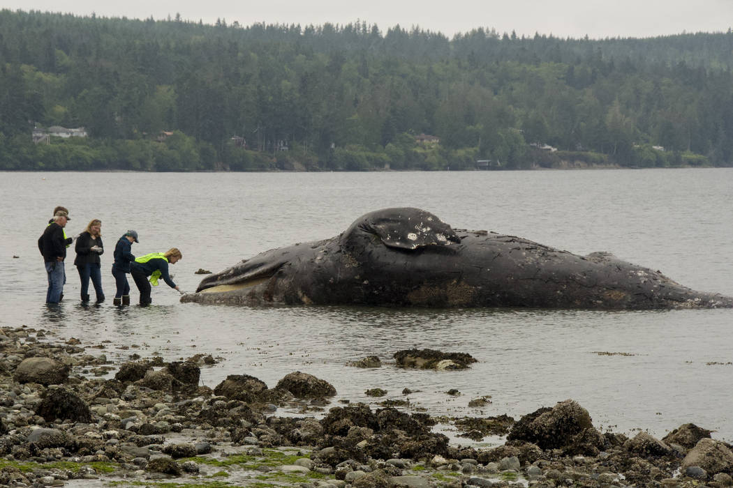 Officials examine a decomposing whale that washed ashore, Tuesday, May 28, 2019, in Port Ludlow ...