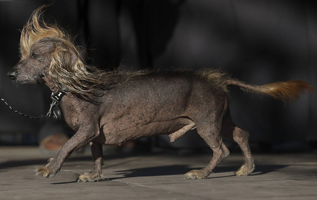 FILE - In this June 23, 218 file photo, Himisaboo, a Chinese crested and dachshund mix, walks o ...