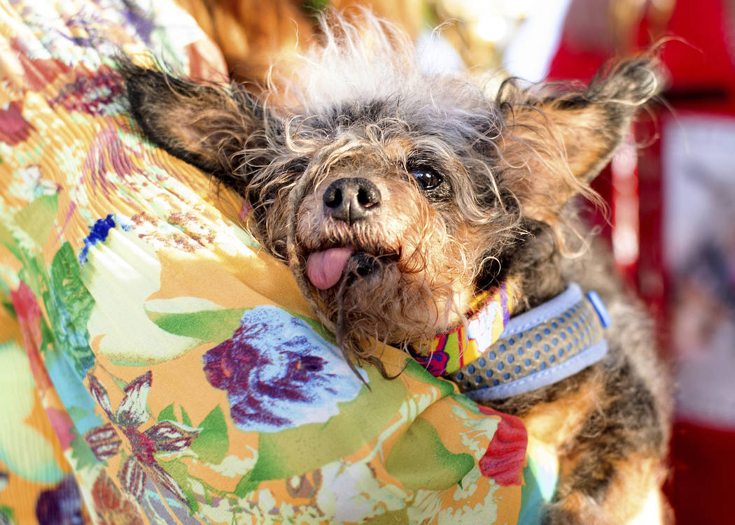 Scamp the Tramp rests after winning the World's Ugliest Dog Contest at the Sonoma-Marin Fair in ...