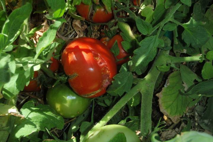 The usual reason for splitting of tomato fruit is not having a consistent amount of water in th ...