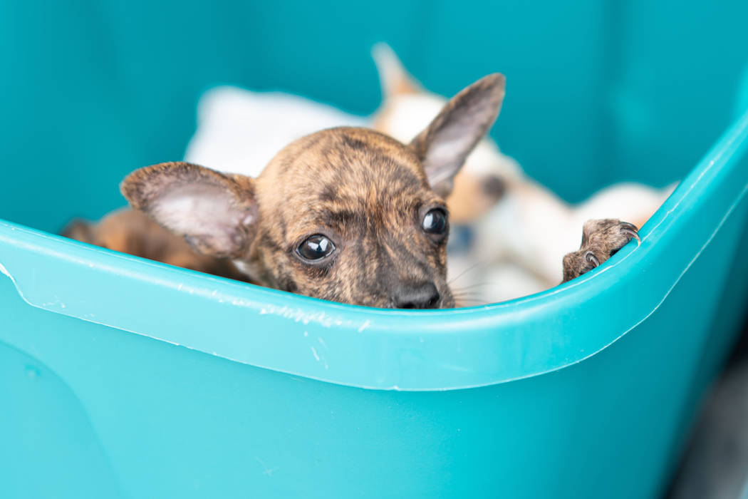 A puppy recovered by the Metropolitan Police Department are photographed at the Animal Foundati ...