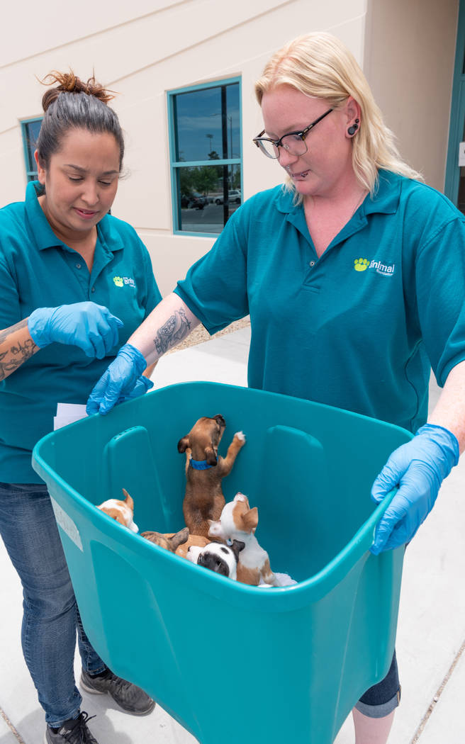 Volunteers of the Animal Foundation carry puppies that were recovered by the Metropolitan Polic ...