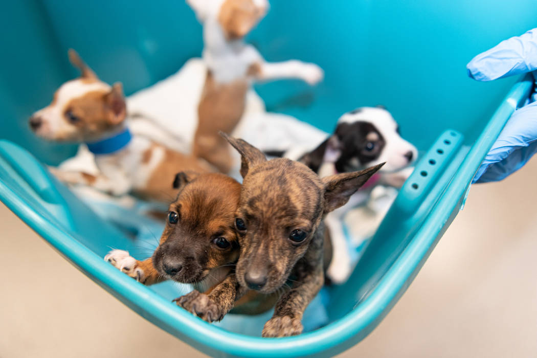 Puppies recovered by the Metropolitan Police Department are photographed at the Animal Foundati ...