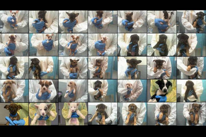 These are some of the puppies who were rescued and turned into The Animal Foundation on Friday, ...
